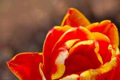 Plan rapproché rouge de tulipe Photographie stock libre de droits