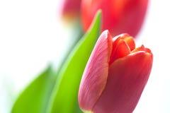 Plan rapproché rouge de tulipe Fleur de ressort sur le fond blanc Profondeur de champ, foyer mou Image libre de droits