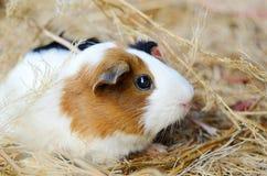 Plan rapproché rouge et blanc mignon de cobaye Animal familier dans sa Chambre Photo libre de droits
