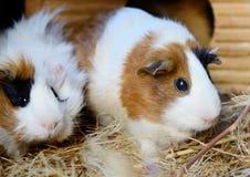 Plan rapproché rouge et blanc mignon de cobaye Animal familier dans sa Chambre Photos libres de droits