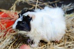 Plan rapproché rouge et blanc mignon de cobaye Animal familier dans sa Chambre Image stock
