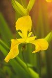 Plan rapproché sauvage de fleur d'iris jaune sur un fond végétatif vert Photo libre de droits