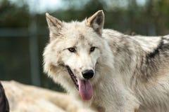 Plan rapproché sauvage de loup gris Photo stock