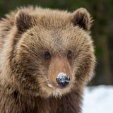 Plan rapproché sauvage de petit animal d'ours brun photos stock