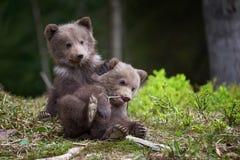 Plan rapproché sauvage de petit animal d'ours brun photo stock