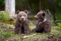 Plan rapproché sauvage de petit animal d'ours brun photo libre de droits