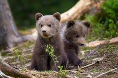 Plan rapproché sauvage de petit animal d'ours brun photographie stock libre de droits
