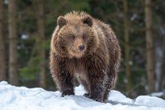 Plan rapproché sauvage de petit animal d'ours brun dans la forêt photos libres de droits