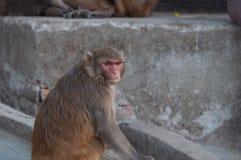Plan rapproché sauvage de portrait de singe au Népal images libres de droits