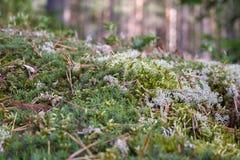 Plan rapproché scandinave de mousse dans la forêt image libre de droits
