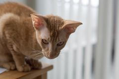 Plan rapproché se reposant de chat de gingembre de Peterbald Images stock