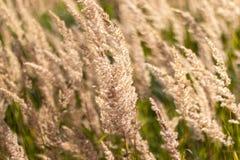 Plan rapproché sec de stipe plumeux d'herbe Courbures d'herbe sous le vent image stock