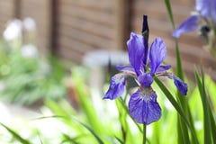 Plan rapproché sibérien bleu de fleur d'iris Photos stock