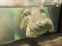 Plan rapproché sous-marin d'hippopotame de tête - yeux, nez, oreilles, Mout Photographie stock
