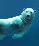Plan rapproché sous-marin d'ours blanc Images libres de droits
