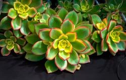 Plan rapproché succulent de cactus d'aeonium rouge et vert images stock