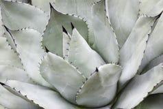 Plan rapproché succulent, texture, fond image libre de droits