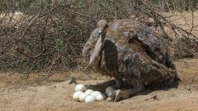 Plan rapproché sud-africain d'autruche photo stock