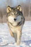 Plan rapproché superbe de loup de bois de construction images stock
