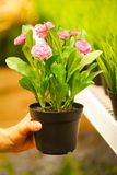 Plan rapproché sur des mains retenant des bacs de fleurs Images libres de droits