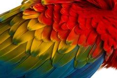 Plan rapproché sur des plumes d'un ara d'écarlate (4 années) d'isolement sur W images stock