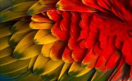 Plan rapproché sur des plumes d'un ara d'écarlate (4 années) d'isolement sur W photographie stock libre de droits