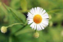 Plan rapproché sur la fleur blanche minuscule de la marguerite d'or d'Anthemis de Maurgarite images stock