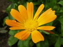 Plan rapproché sur la fleur de souci pendant la pluie d'été Images stock