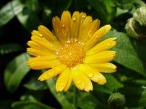 Plan rapproché sur la fleur de souci peu de temps après la pluie d'été Images stock