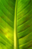 Plan rapproché sur la lame de banane Photo libre de droits