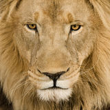 Plan rapproché sur la tête d'un lion (4 et une moitié d'ans) - P Photo stock