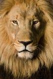 Plan rapproché sur la tête d'un lion (4 et une moitié d'ans) - P Photos stock