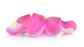 Plan rapproché sur le pétale de lotus sur le fond blanc Image libre de droits