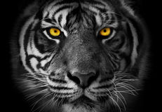 Plan rapproché sur le portrait monochrome du visage d'un tigre avec akcent sur le YE photos stock