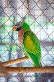 Plan rapproché sur le vert de perroquets dans une cage image libre de droits