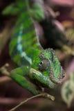 Plan rapproché sur un caméléon vert avec le foyer sur son oeil Images libres de droits
