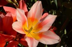 Plan rapproché sur une tulipe simple dans un parterre photographie stock libre de droits