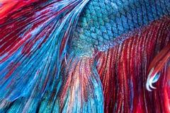 Plan rapproché, texture des poissons de combat siamois de queue photos stock