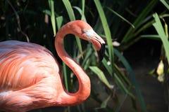 Plan rapproché tiré du flamant à un zoo images libres de droits