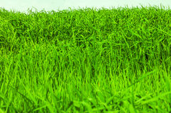 Plan rapproché tiré sur l'herbe verte Images stock