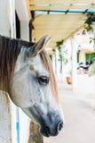 Plan rapproché, un cheval blanc dans le pré Photo stock