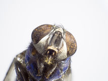 Plan rapproché une mouche, grand insecte, macro pousse Photos libres de droits