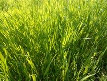 Plan rapproché vert d'herbe de ressort au soleil Images stock