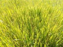 Plan rapproché vert d'herbe de ressort au soleil Photographie stock