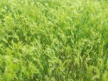 Plan rapproché vert d'herbe de ressort au soleil Image libre de droits