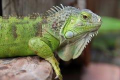 Plan rapproché vert d'iguane Photographie stock libre de droits