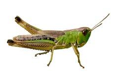 Plan rapproché vert d'isolement de sauterelle Image stock