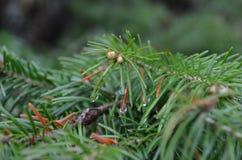 Plan rapproché vert de branche de fourrure-arbre Images stock