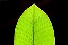 Plan rapproché vert de feuille sur le fond noir Images stock