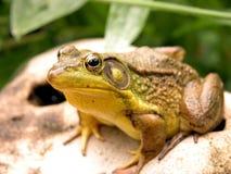 Plan rapproché vert de grenouille d'étang Images libres de droits